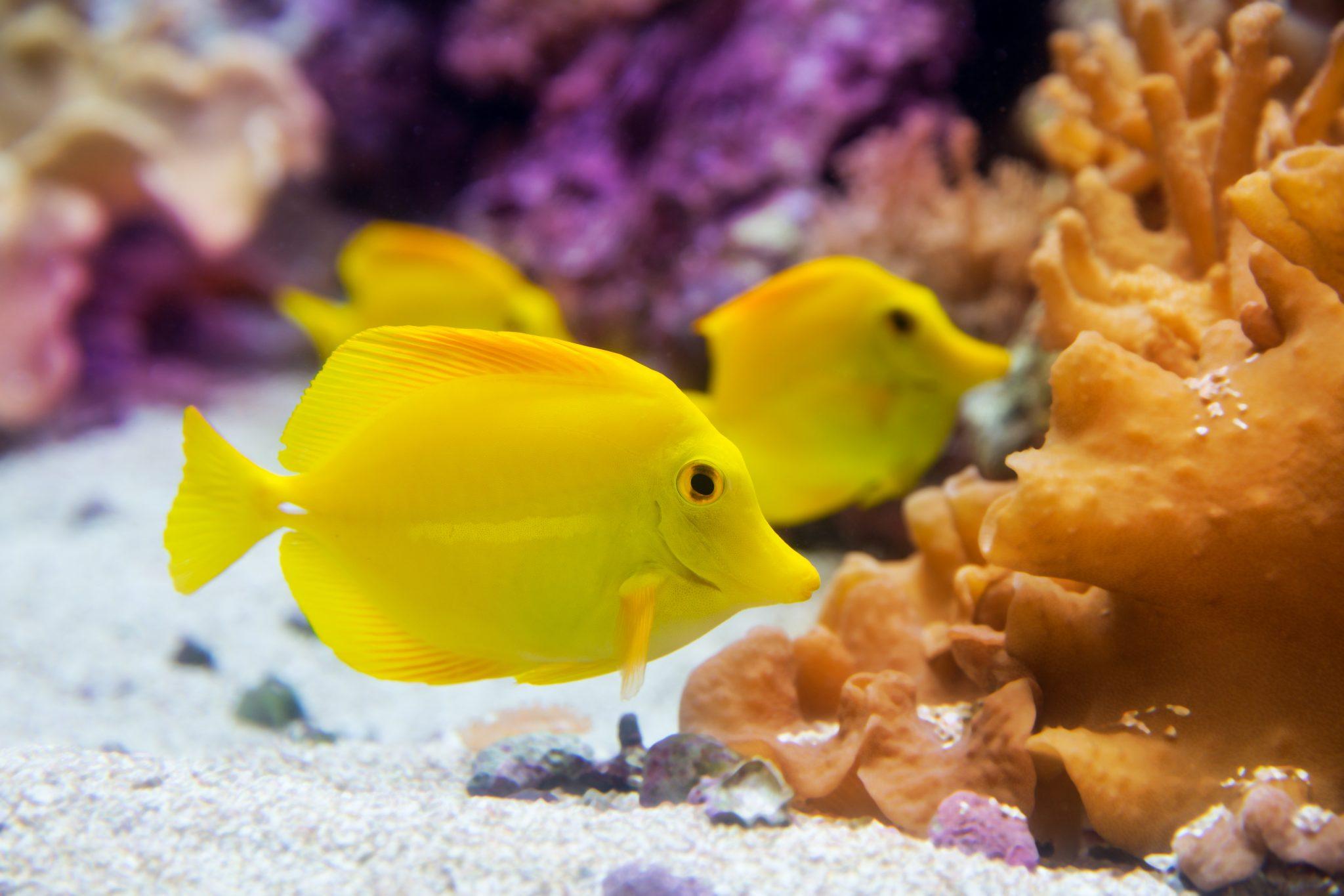 Yellow tang yellow surgeonfish waterworld aquatics for Yellow tang fish