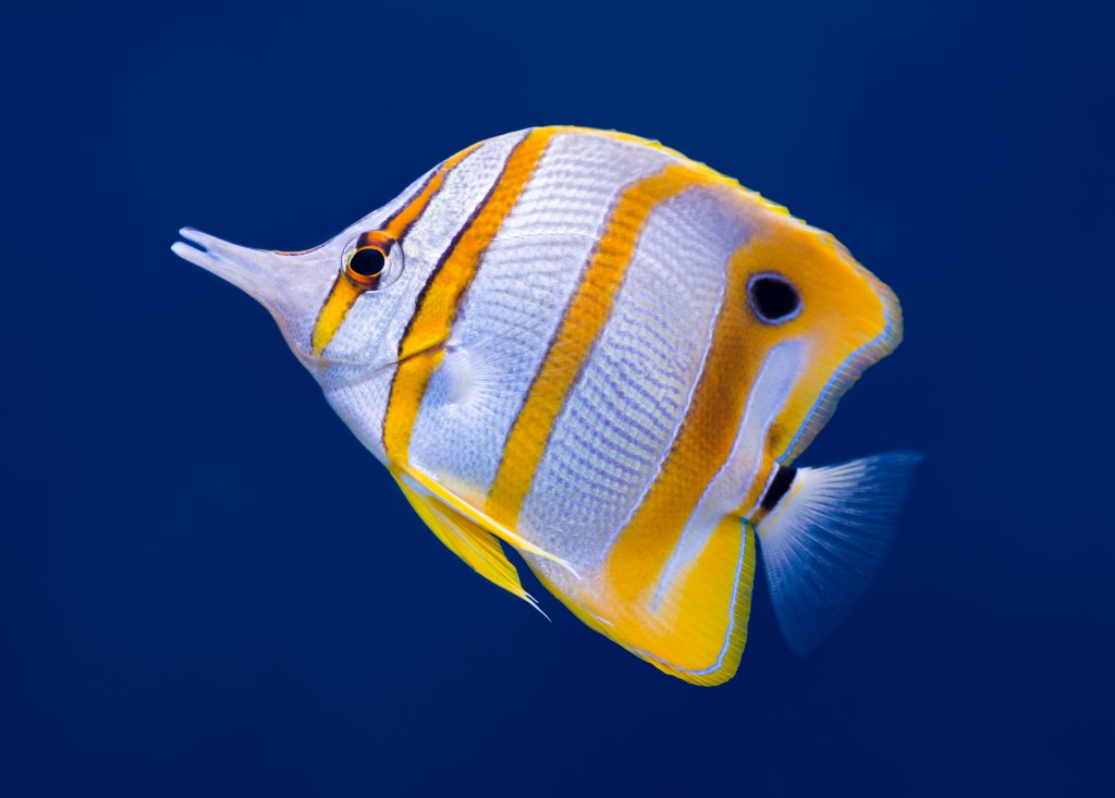 Copperband Butterflyfish Waterworld Aquatics
